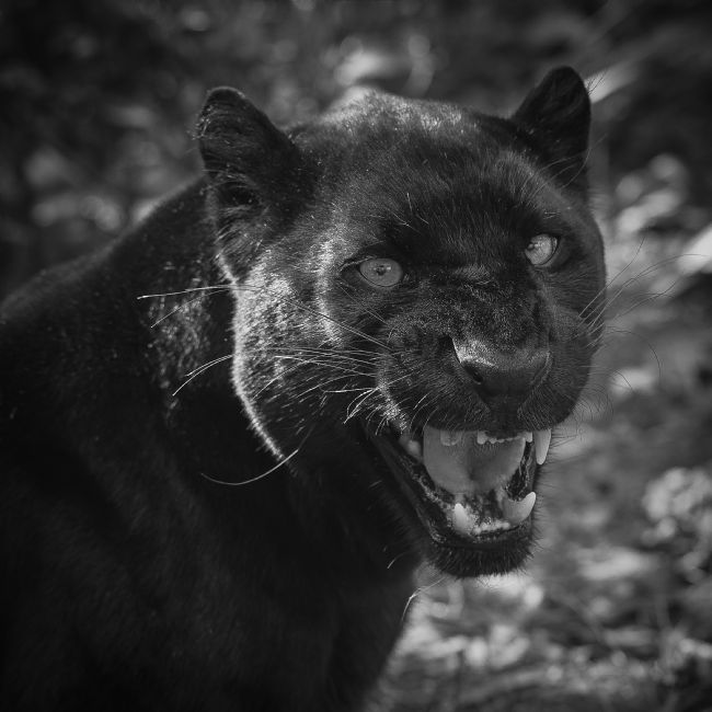 Tom Dolezal | Black Leopard portrait