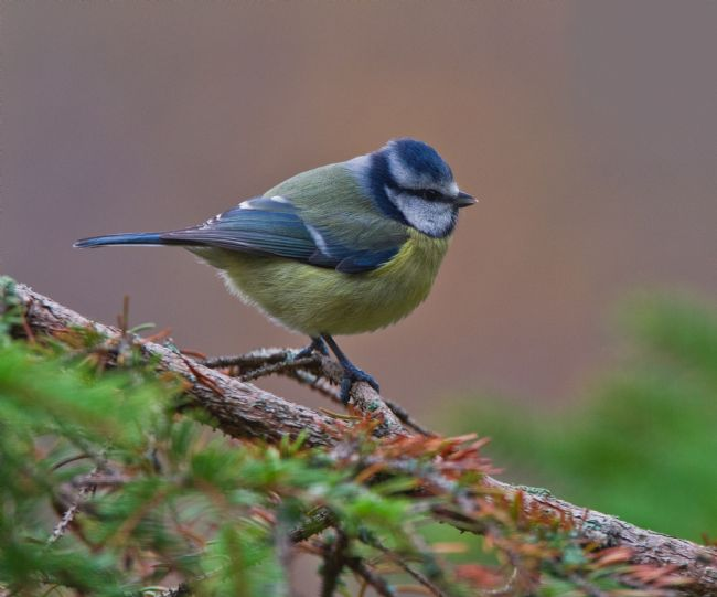 Tom Dolezal | Blue Tit portrait