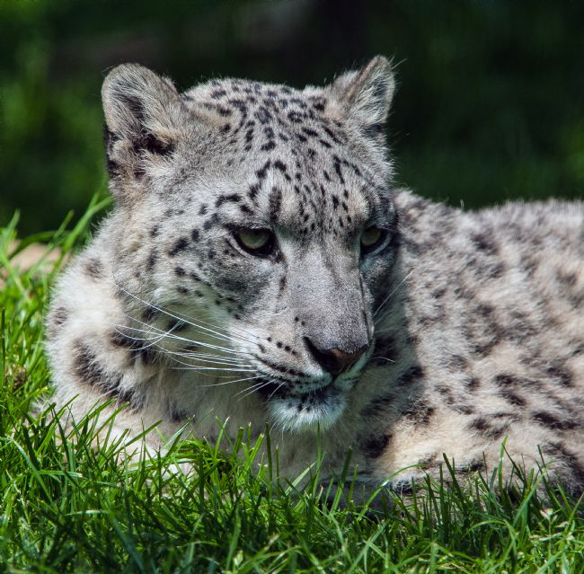 Tom Dolezal | Snow Leopard