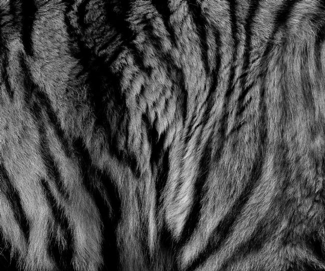 Tom Dolezal | Sumatran Tiger fur