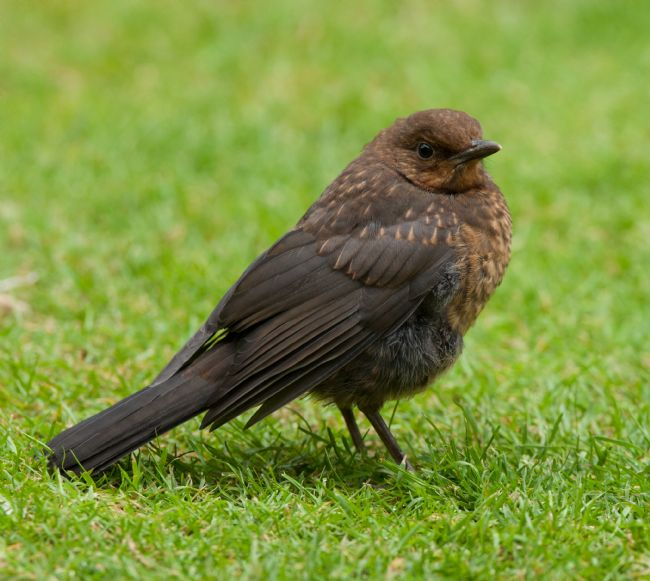Tom Dolezal | Juvenile Blackbird profile