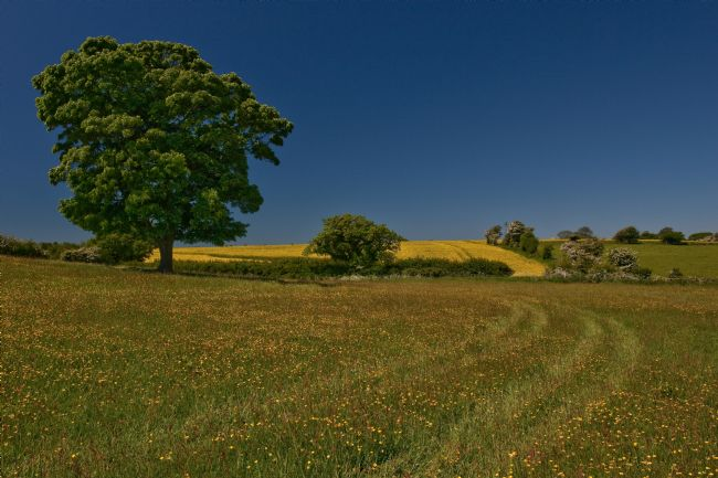Tom Dolezal | Oak in a Kentish meadow
