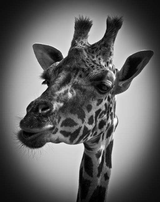 Tom Dolezal | Rothschild Giraffe portrait