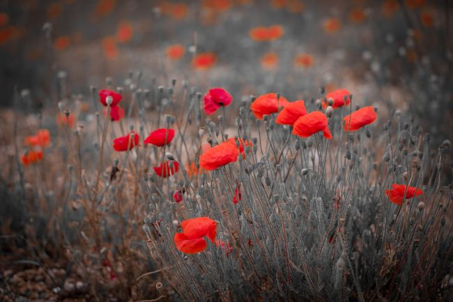 Tom Dolezal | Wild poppies in Kent