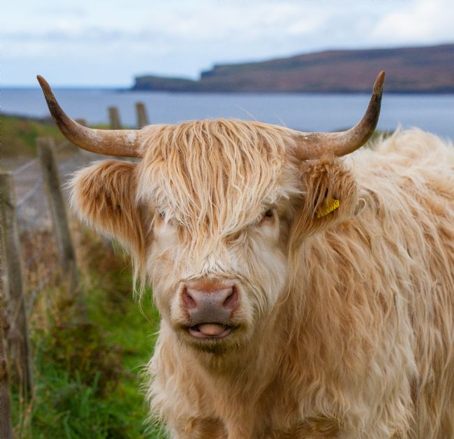 Tom Dolezal | Highland cow