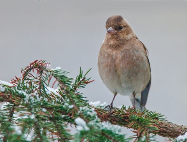Tom Dolezal | Chaffinch in the snow