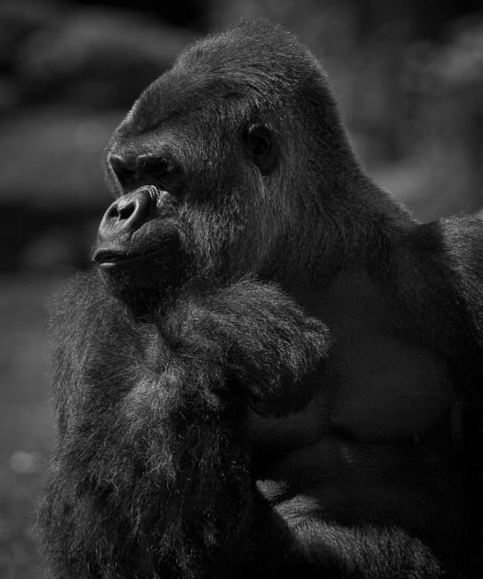 Tom Dolezal | Philosophical Silverback Gorrila