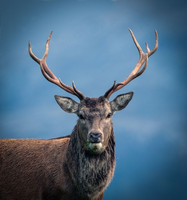 Tom Dolezal | Portrait of a Scottish Highland Stag