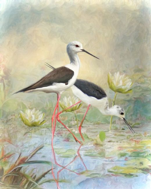 Trudi Simmonds |  Black Winged Stilt