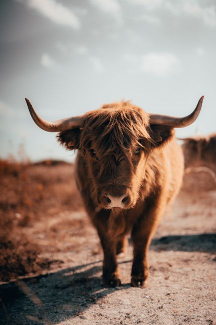Sam Bradley | Highland Cow