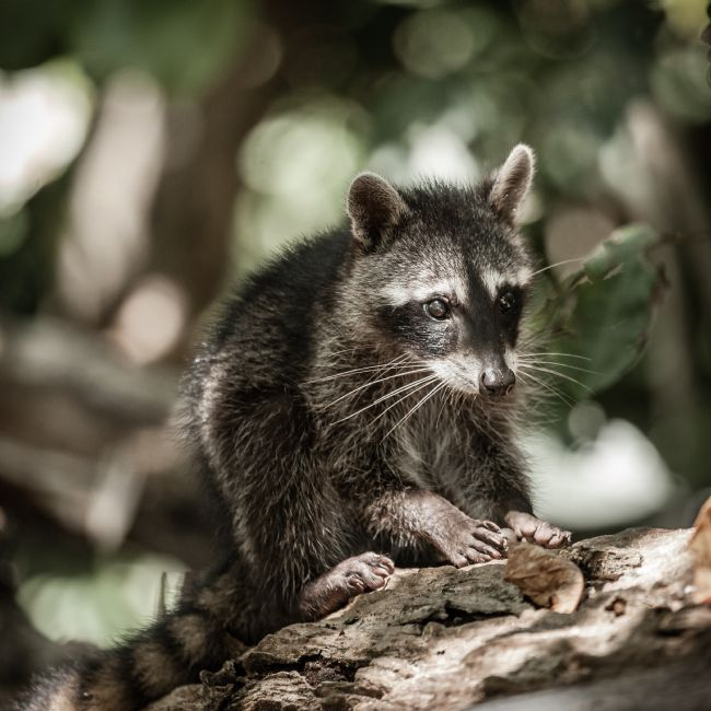 Alexey Stiop | Baby racoon in the wild