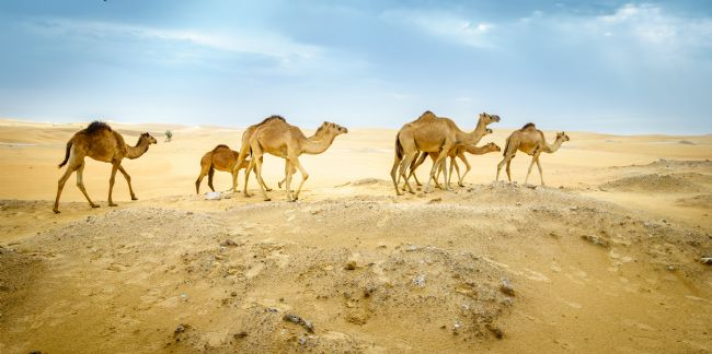 Alexey Stiop | Wild camels in the desert
