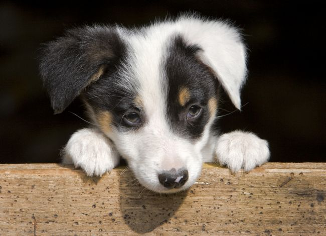 Rory Trappe | Sheep dog puppy