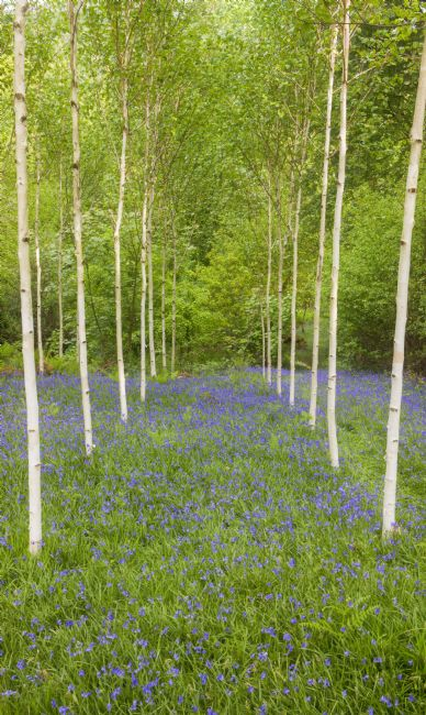 Rory Trappe | Birch trees and Bluebells
