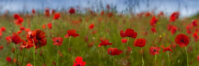 Chris  North | Field of Poppies