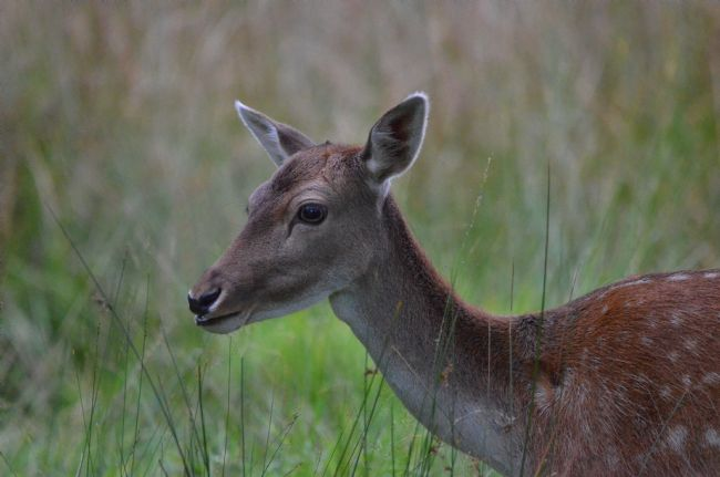 Andrew Heaps | Headshot of a roe deer