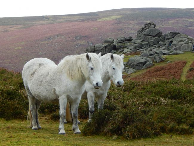 Heather Coleman | Pair of Grey Ponies at Bonehill Rocks, Dartmoor