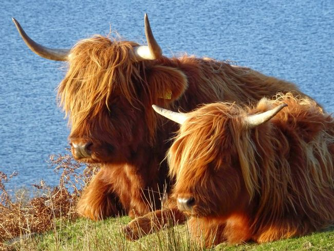 yvonne carroll | Highland Coos on Skye