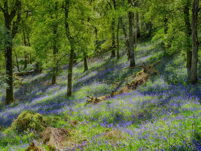 yvonne & paul carroll | Bluebell woods on Inchcailloch