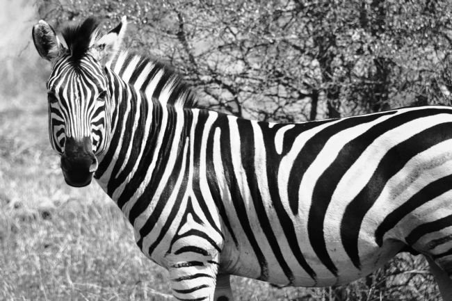 yvonne carroll | Zebra in B&W
