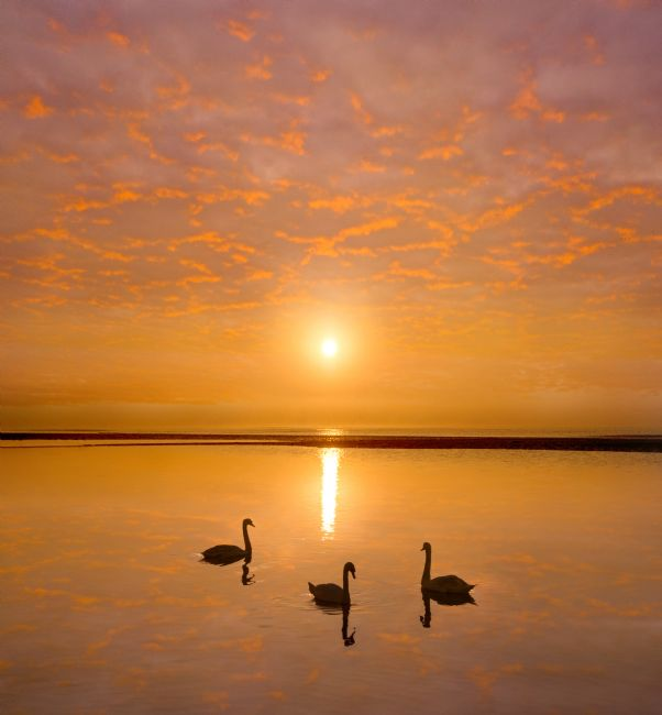 Adrian Campfield | Mute Swan on the Beach at Sunrise