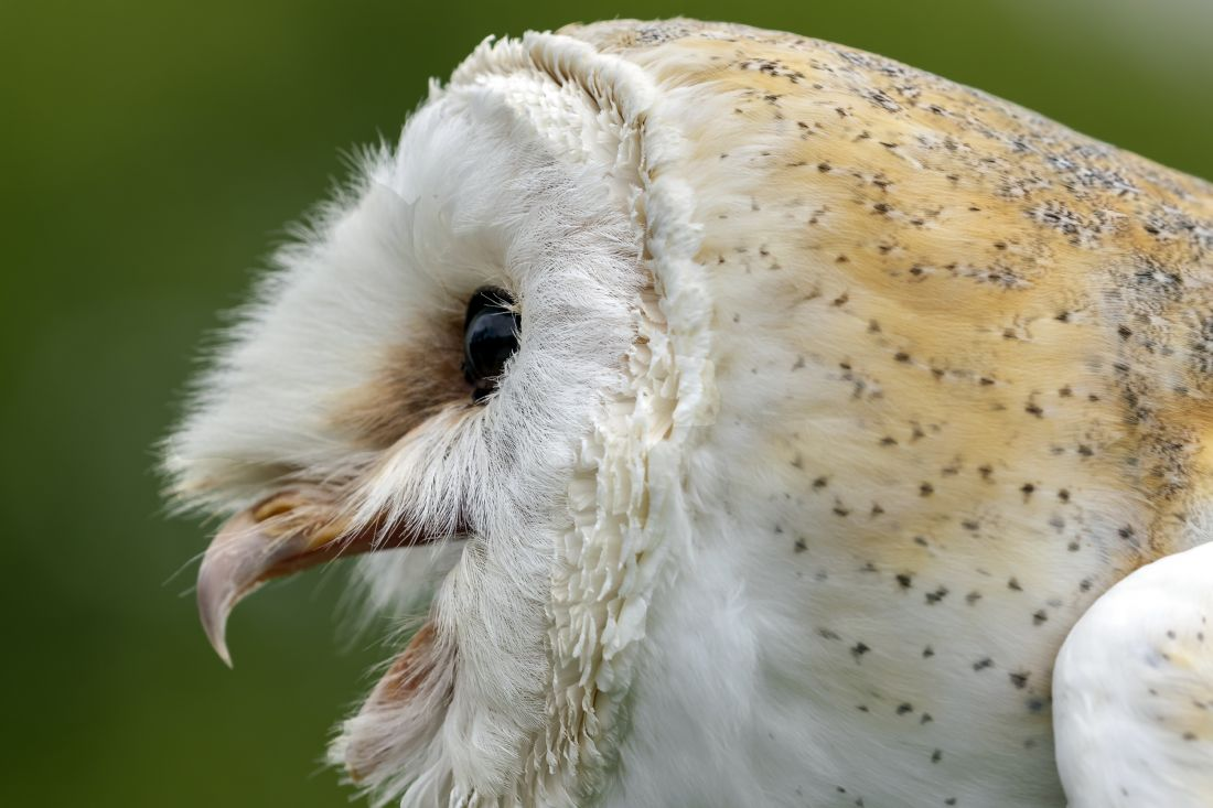 kelvin rumsby | angry barn owl