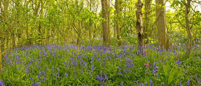 Michael Yates | Bluebell Woods