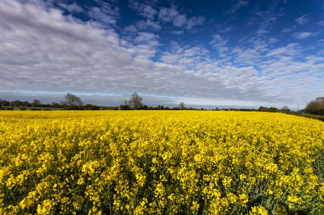 Michael Yates | Oil Seed Rape Field