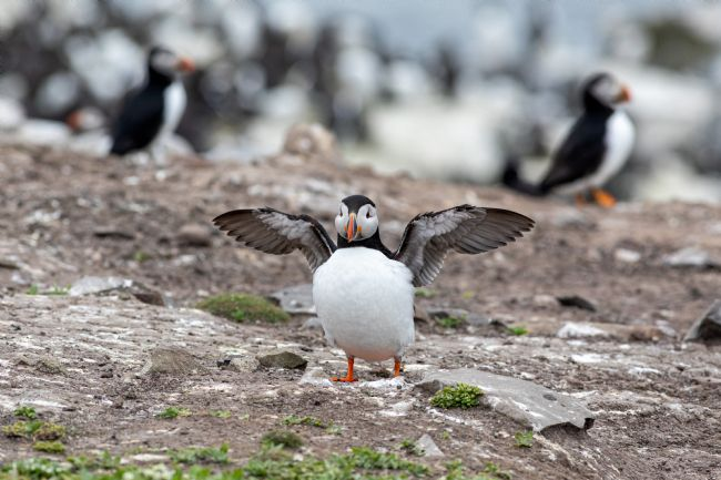 Roger Hollingsworth | I can Fly.        Puffin on a cliff edge