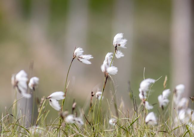 Roger Hollingsworth | Cotton-Grass