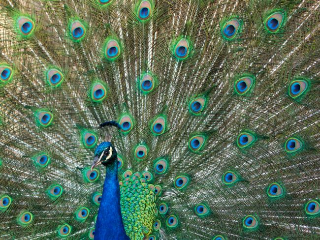 Thomas Dickson | Peacock displaying
