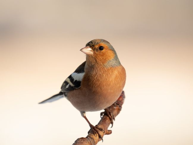 Thomas Dickson | Common Chaffinch (Fringilla coelebs)