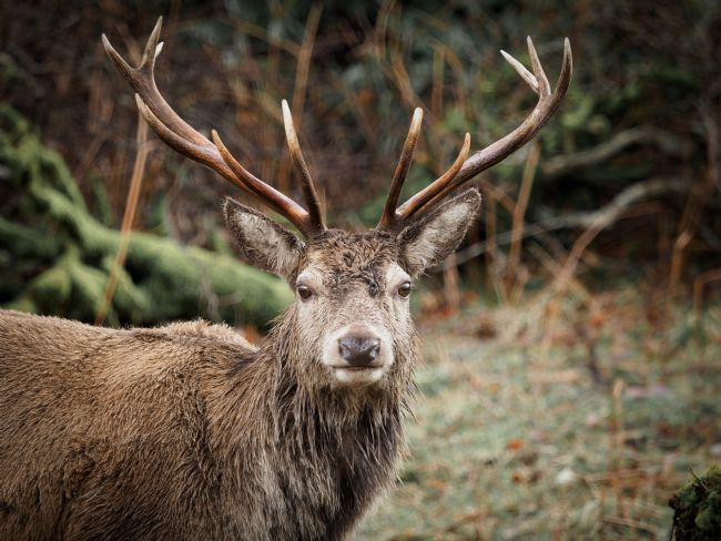 Thomas Dickson | Red Deer Stag.