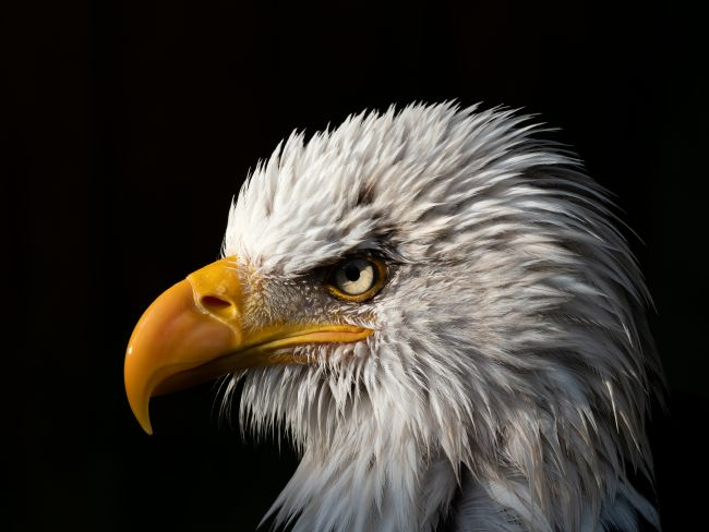 Thomas Dickson | Portrait of a bald eagle.