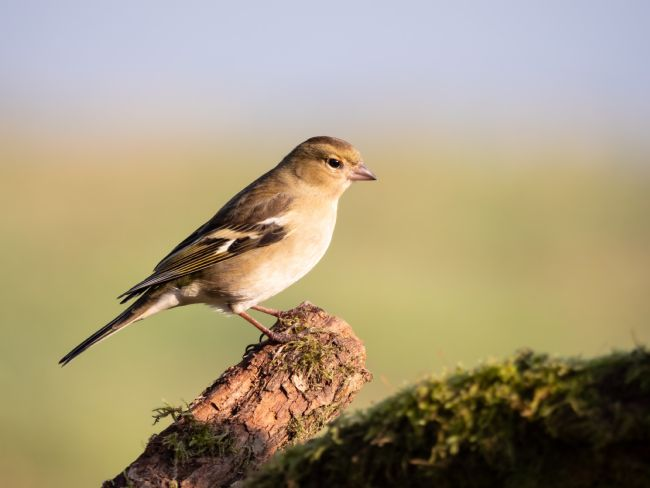 Thomas Dickson | Female Chaffinch