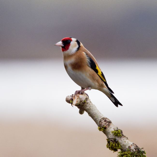 Thomas Dickson | Europea Goldfinch