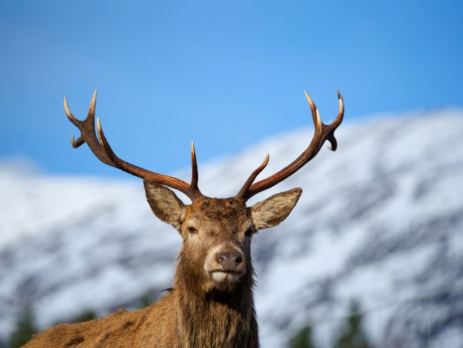 Thomas Dickson | Red Deer Stag