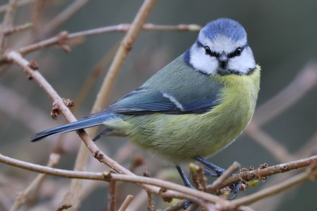 Simon Marlow | Closeup detailed photogragh of a Blue Tit