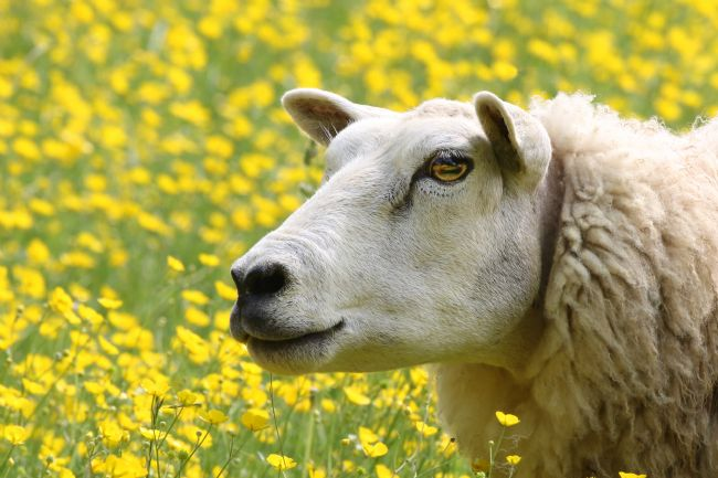 Simon Marlow | Sheep in a field of Daisies