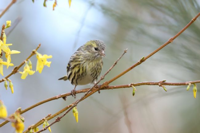 Simon Marlow | Rare Siskin in a tree in Shropshire