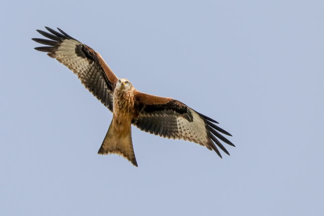 Simon Marlow | Red Kite flying overhead