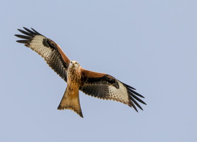 Simon Marlow | Red Kite looking down