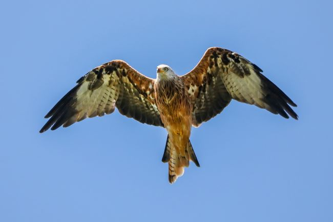 Simon Marlow | Red Kite with wings spread