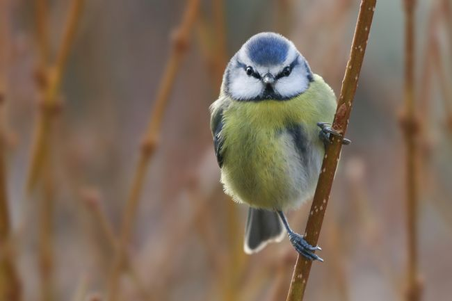 Simon Marlow | Beautiful little Blue Tit in a tree