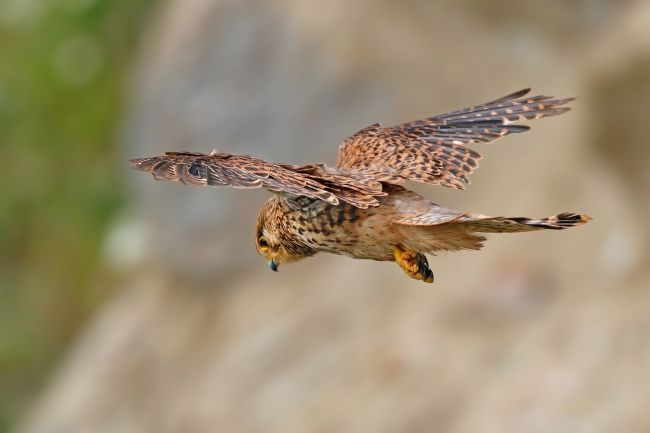 Simon Marlow | Beautiful Kestrel in flight