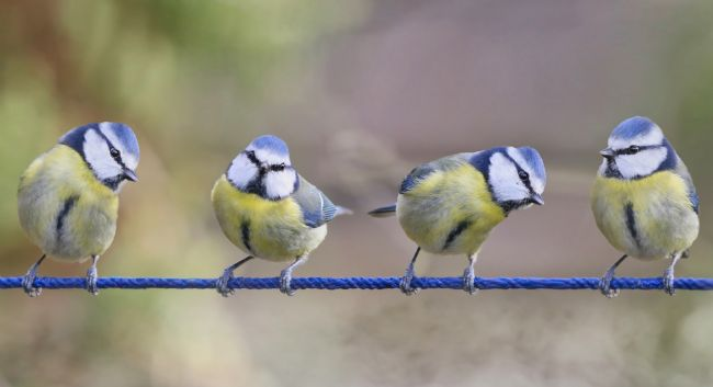 Simon Marlow | Composition of 4 Blue Tits on a line