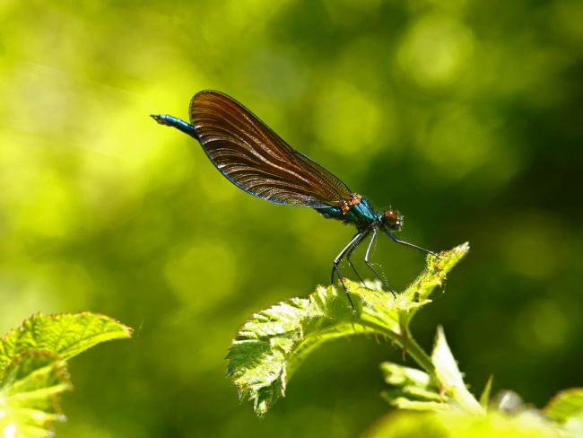 James Brunker | Dancing Demoiselle damselfly
