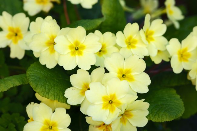 James Brunker | Common primroses in bloom