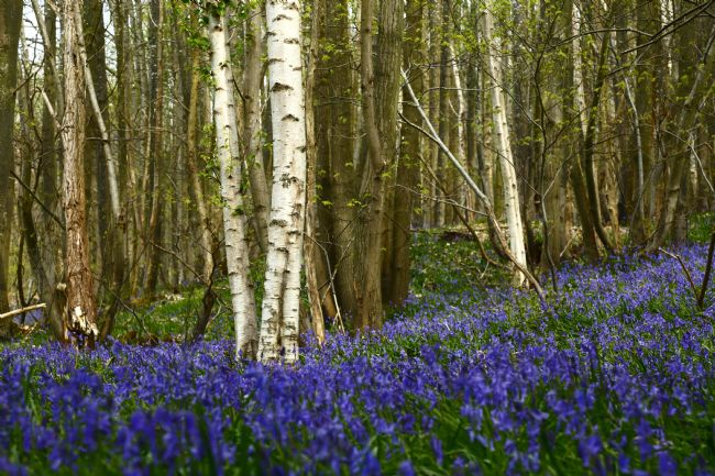 James Brunker | Bluebell Flowers and Birch Tree Trunks