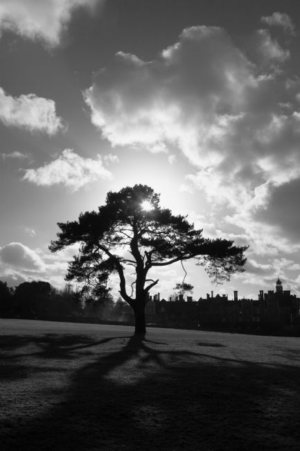 James Brunker | Backlit Pine Tree in Black and White Knole Park Kent